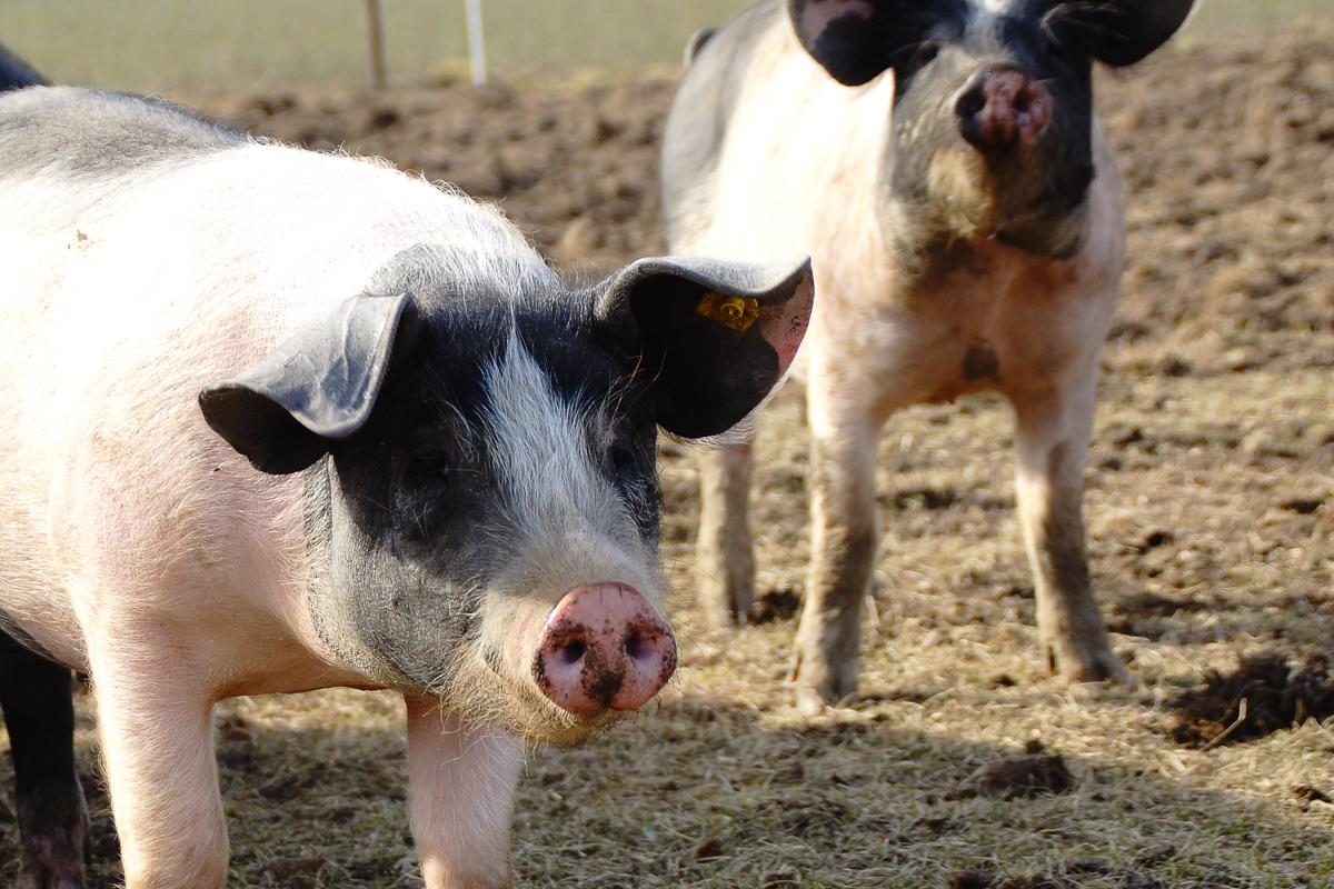 Biohof Hubicek Führung Schweine 01