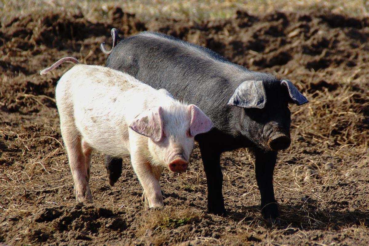 Biohof Hubicek Führung Schweine 05