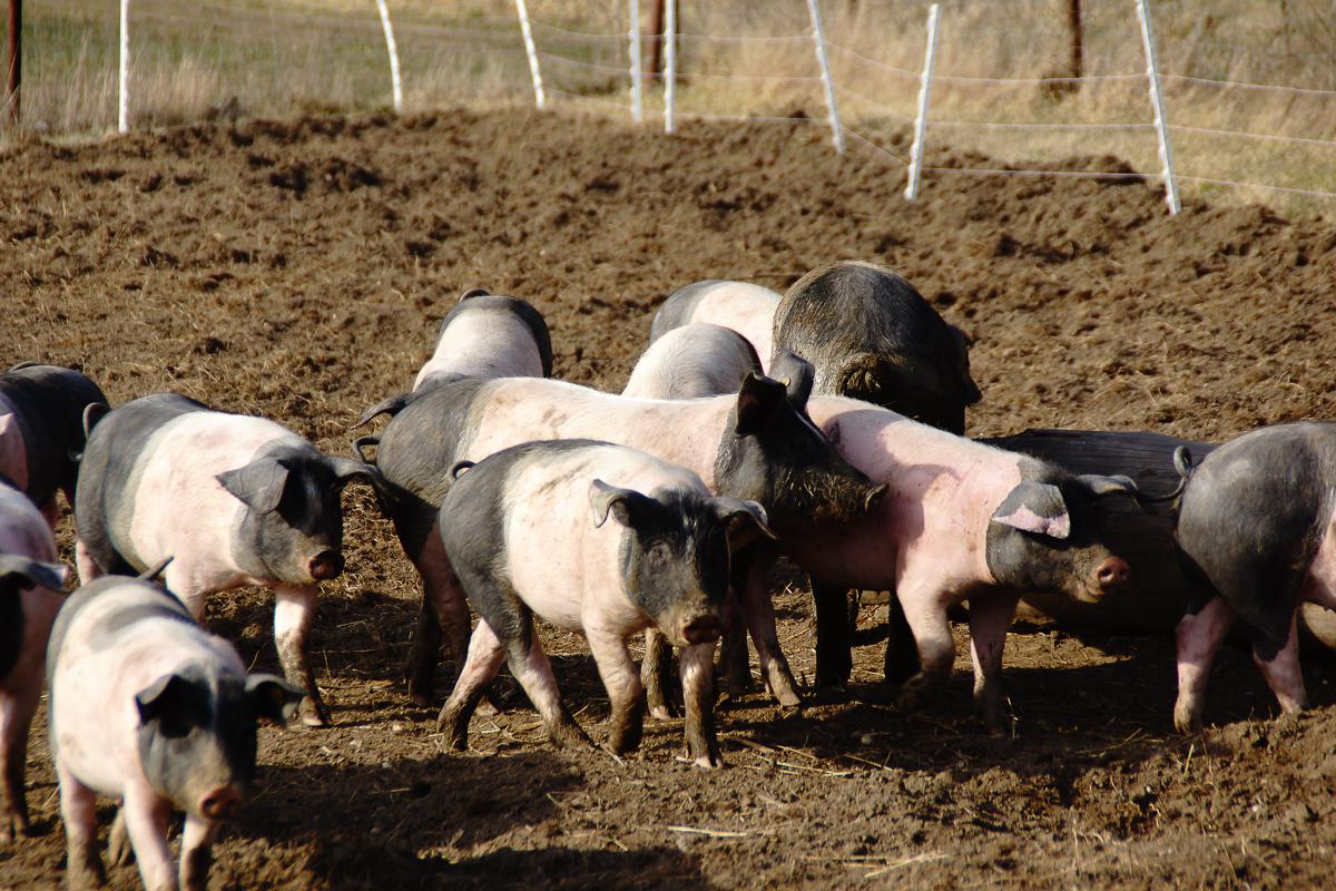 Biohof Hubicek Führung Schweine 17