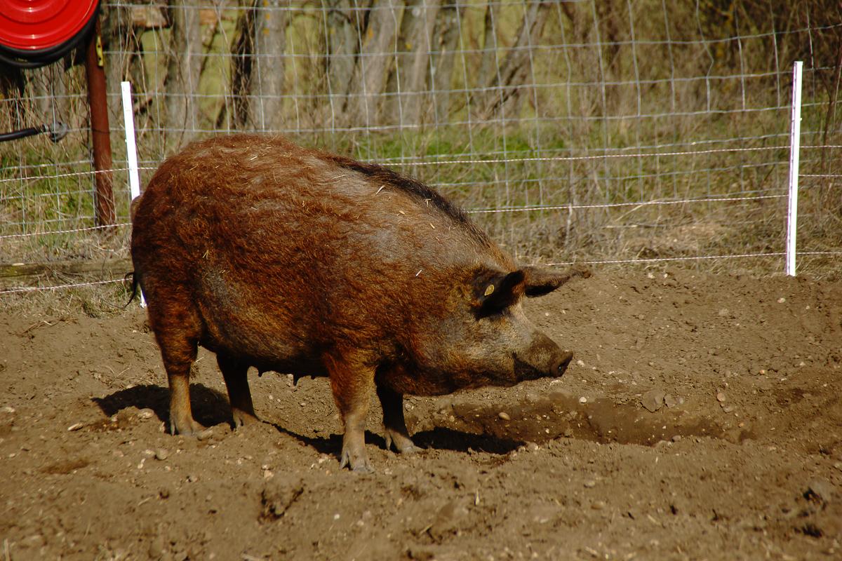 Biohof Hubicek Führung Schweine 19