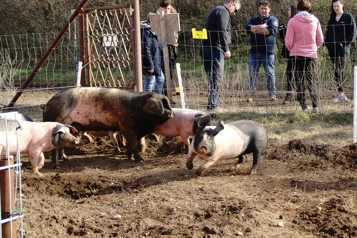 Biohof Hubicek Führung Schweine 21