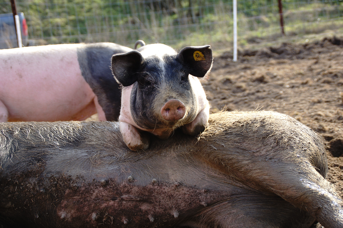 Biohof Hubicek Führung Schweine 23